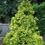 Chamaecyparis_lawsoniana_golden_wonder_