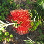 Little John (Dwarf Bottlebrush) bloom (Callistemon viminalis)