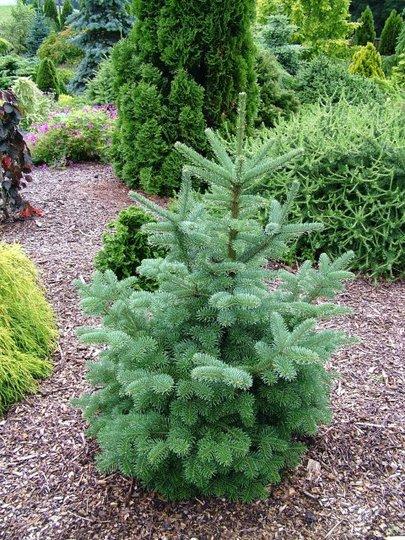 Abies lasiocarpa 'Mulligan's Dwarf' (Abies lasiocarpa (alpine fir))