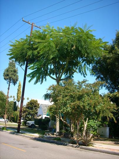 Schizolobium parahybum - Brazilian Fern Tree (Schizolobium parahybum)