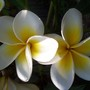 A garden flower photo (Plumeria)