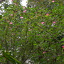 Calliandra surinamensis - Surinam Powder Puff (Calliandra surinamensis)