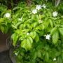 Tabernaemontana fushsiaefolia - Toad Tree (Tabernaemontana fushsiaefolia)