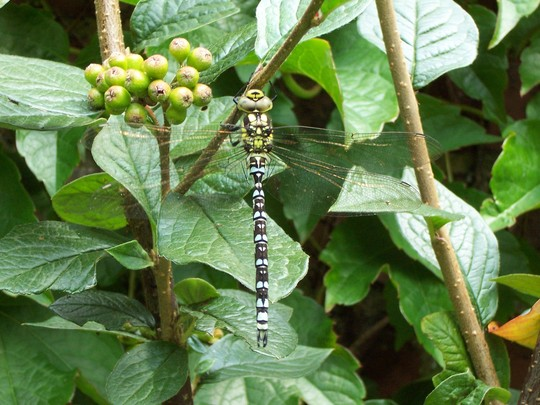 dragonfly on cotoneaster