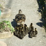 Duckling on the march