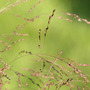Switch grass (Panicum virgatum)