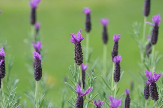 A garden flower photo (Lavandula stoechas (French lavender))