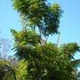 Rademachera sinica - China Doll Tree  (Rademachera sinica)