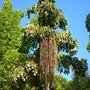 Caryota urens - Fishtail Palm  (Caryota urens)
