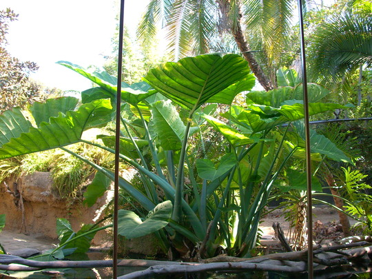 Xanthosoma sagittifolium - Arrow Leaf, Elephant Ear, Yautia (Xanthosoma sagittifolium)