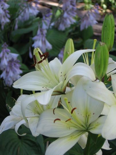 lily (lilium)
