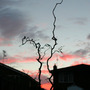 'Contorta' at sunset (Corylus avellana 'Contorta')