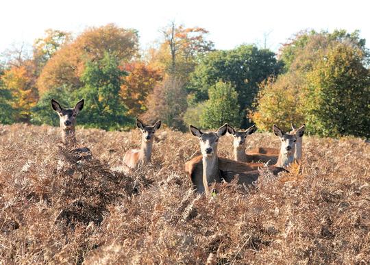 Deer against the Autumn colours