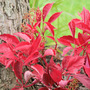 Parthenocissus henryana