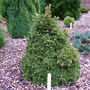 Picea_abies_pygmaea_