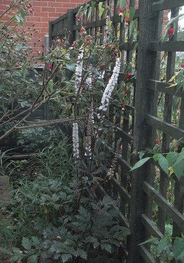 Actaea simplex Atropurpurea Group 'James Compton' (Actaea simplex Atropurpurea Group)