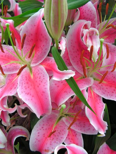 stargazer lilly