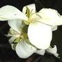 White cannas (Canna)