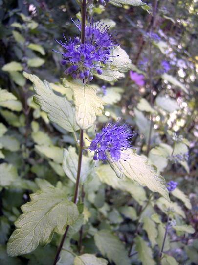 Golden bluebeard (Caryopteris incana 'Jason')