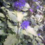 Golden bluebeard (Caryopteris incana 'Jason')
