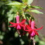 Pretty Bells (Fuchsia 'Earrings')