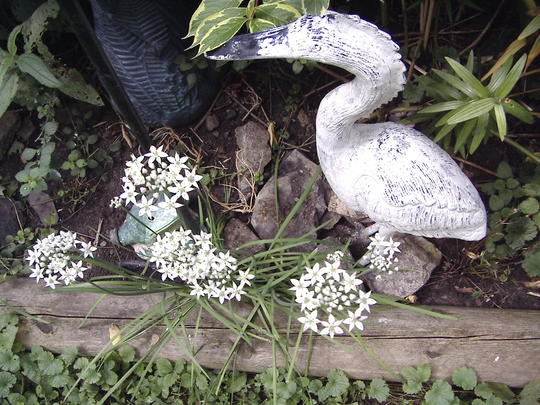 Garlic Chives in garden (Allium tuberosum (Garlic chives))