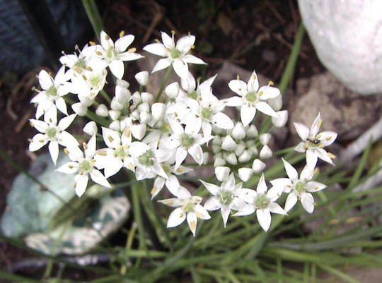 Garlic chives flowers (Allium tuberosum (Garlic chives))