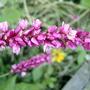 Kiss Me - closer (Persicaria orientalis)
