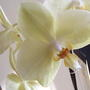 Ivory orchid
