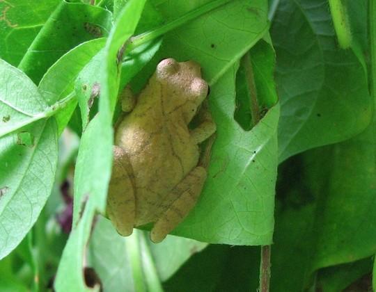 Bashful Spring peeper frog