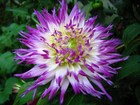 My favorite dahlia so far (Dahlia 'Veritable')