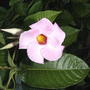 Mandevilla bloom (Mandevilla x amabilis 'Alice Du Pont')