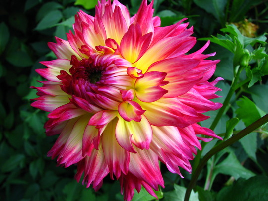 Dahlias are liking the cooler weather (Dahlia - 'Nenekazi')