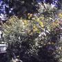 Jerusalem Artichoke in the garden (Helianthus tuberosus)