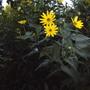Such pretty yellow flowers... (Helianthus tuberosus)