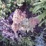 Sedum 'Autumn Joy' (Sedum 'Herbstfreude')