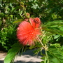 Calliandra haematocephala - Red Powder Puff (Calliandra haematocephala)