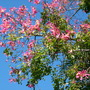 Chorisia speciosa - Floss Silk Tree (Chorisia speciosa)
