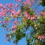 Chorisia speciosa - Floss Silk Tree (Chorisia speciosa)