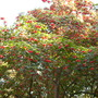 Dombeya cacuminum - Strawberry Snowball Tree (Dombeya cacuminum)