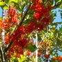 Stenocarpus sinuatus - Firewheel Tree (Stenocarpus sinuatus)