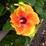 Hibiscus rosa-sinensis - Hibiscus Flower (Hibiscus rosa-sinensis)