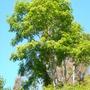 Acrocarpus fraxinifolius - Pink Cedar (Acrocarpus fraxinifolius - Pink Cedar)