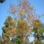 Acrocarpus fraxinifolius - Pink Cedar - In Bloom (Acrocarpus fraxinifolius)