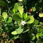 Clusia rosea - Autograph Tree (Clusia rosea)