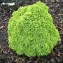 Picea_abies_ripley_broom
