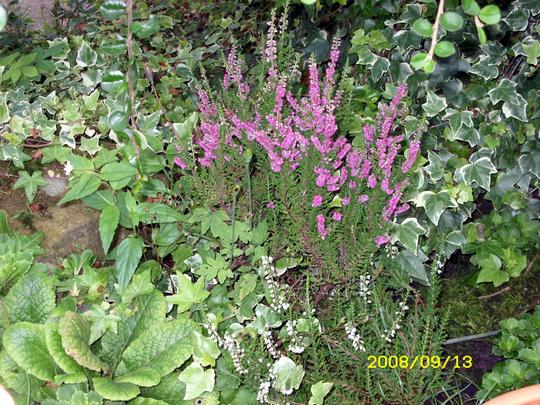 Autum Heathers (Heather calluna)