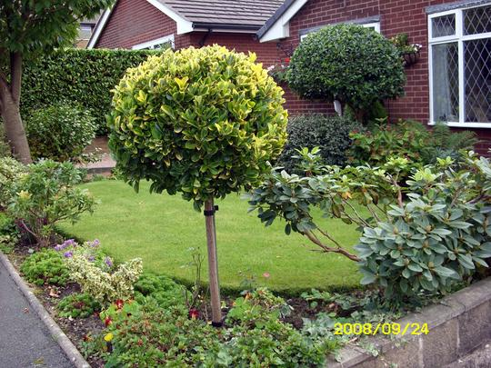 Front garden evergreen planting grows on you for Ideal trees for small gardens