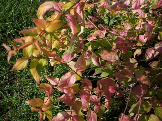 Kolkwitzia amabilis 'Maradco' (Kolkwitzia amabilis (American Beauty Bush))