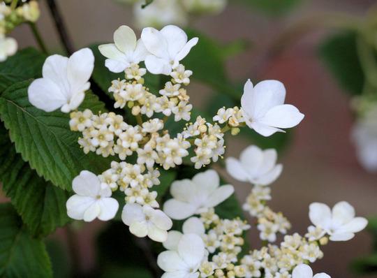 viburnum 'Mariesii' (Viburnum plicatum (Japanese snowball bush))
